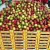 venta de mango al por mayor